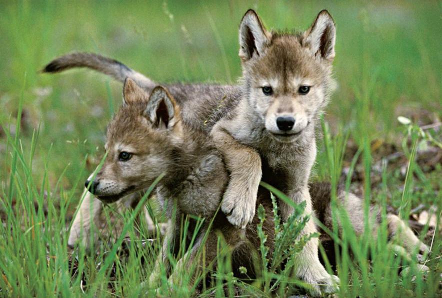 Клички для волков