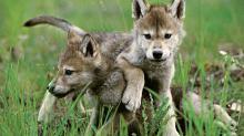 Клички для волков и волкодавов