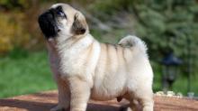 Вес мопса по месяцам - фото и видео щенков