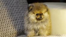Вес померанского шпица по месяцам - фото и видео щенков
