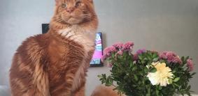 300+ красивых кличек для кошек мейн-кун
