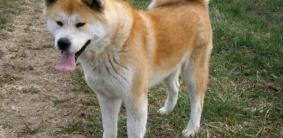 Щенки Акита-ину — фото и вес по месяцам