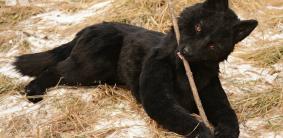 Клички для черных немецких овчарок