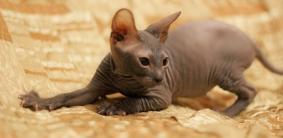 Имена для кота сфинкса