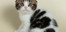 300+ имен для шотландских кошек девочек